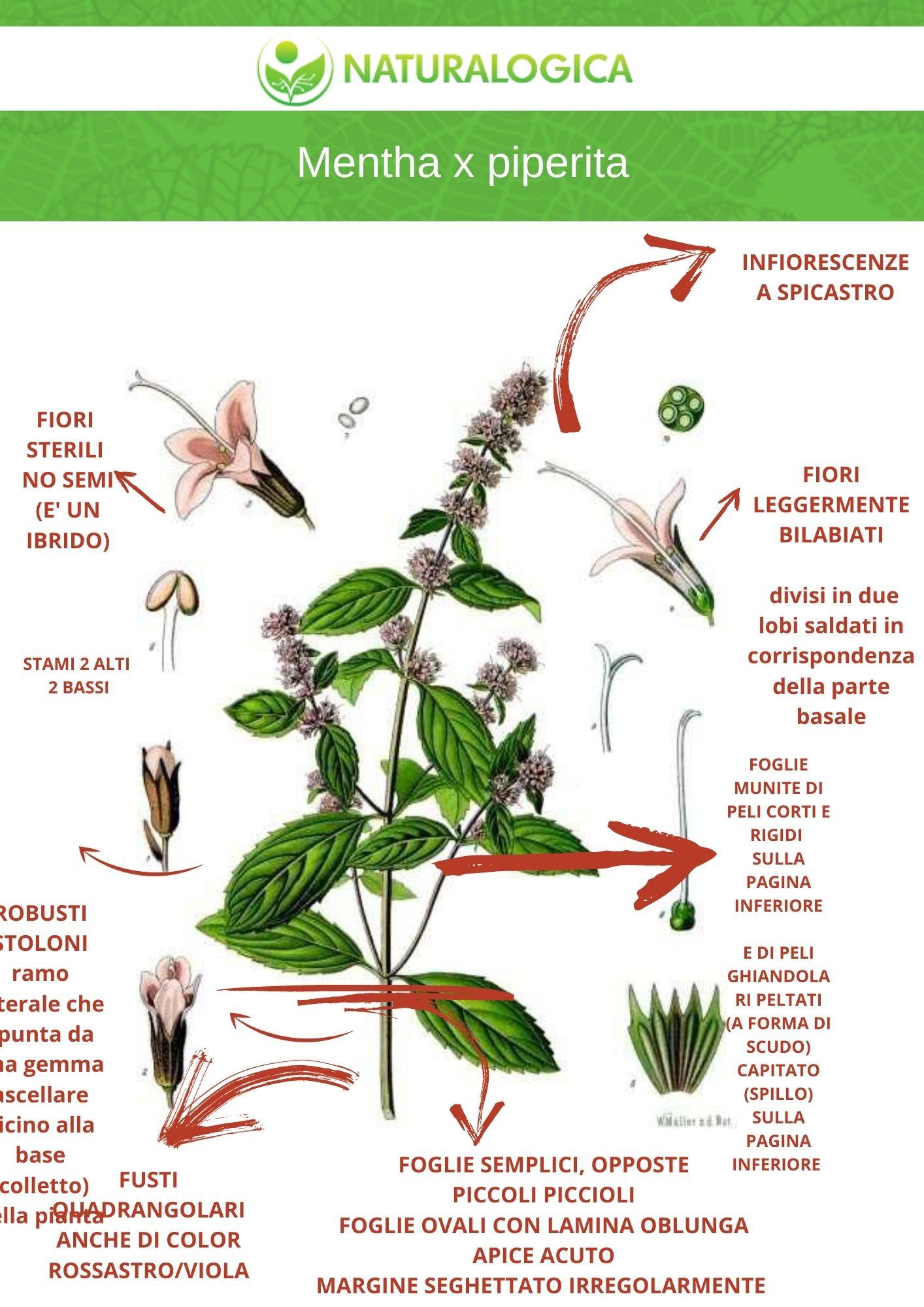 scheda botanica proprietà menta