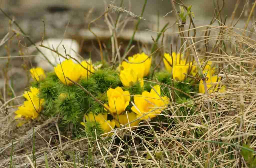 Adonis vernalis Adonide gialla o primaverile erboristeria e farmaceutica