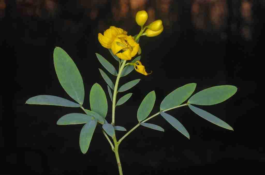 Cassia angustifolia proprietà e usi della Senna