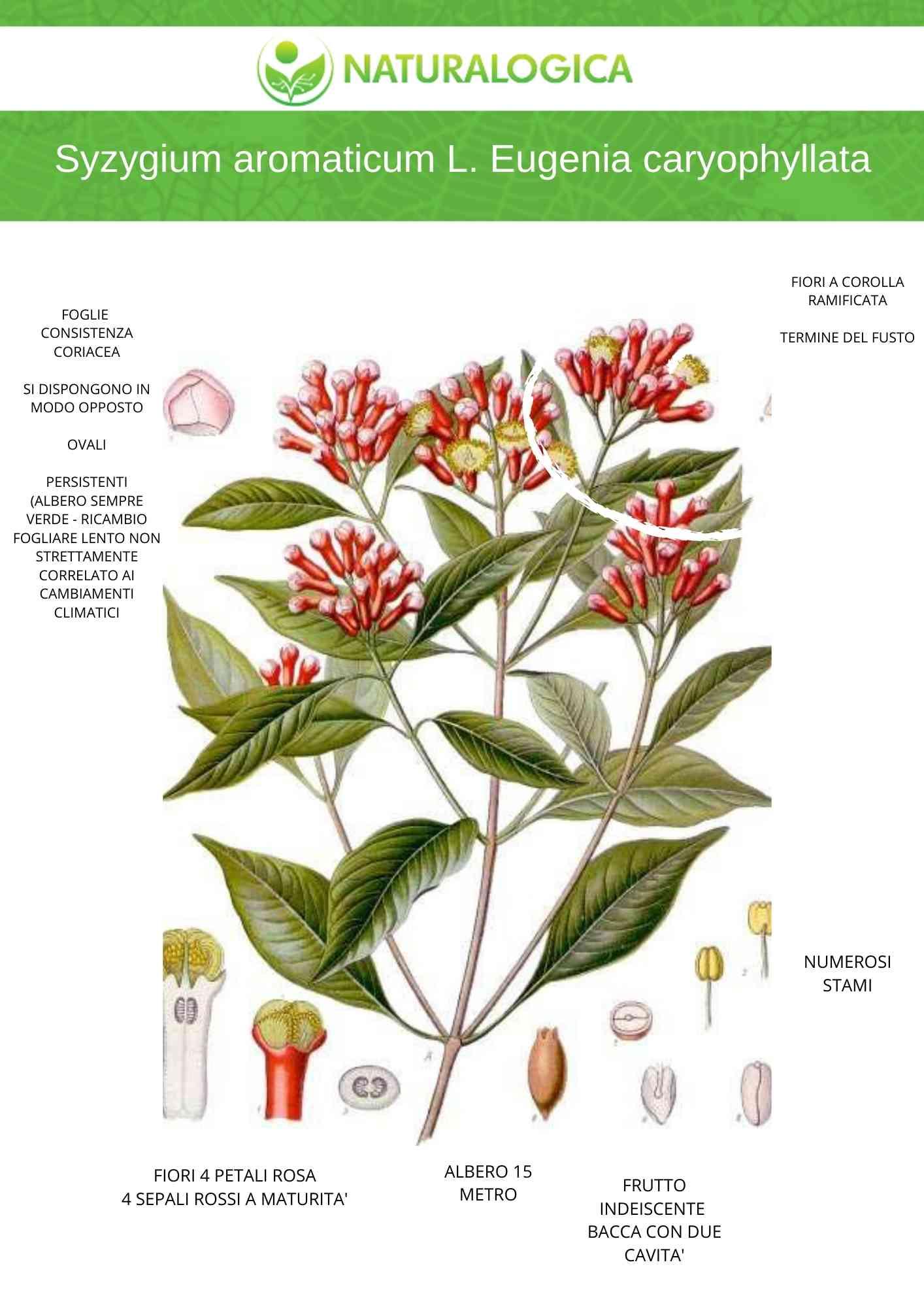 Chiodi di garofano la scheda botanica per capire i benefici