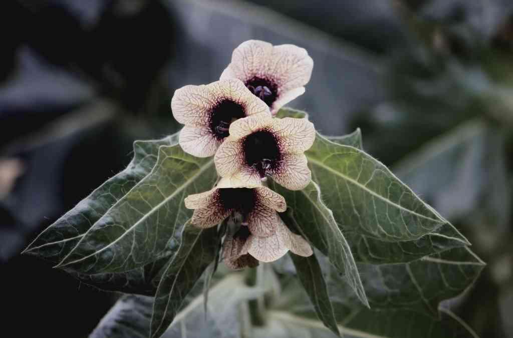 Famiglia Solanaceae significato e caratteristiche