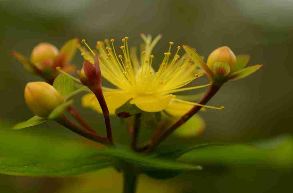 Iperico proprietà e principi attivi con cenni di botanica