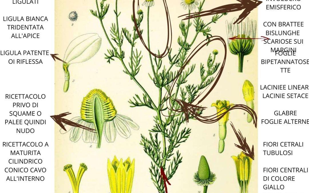 Matricaria chamomilla proprietà in erboristeria e farmaceutica
