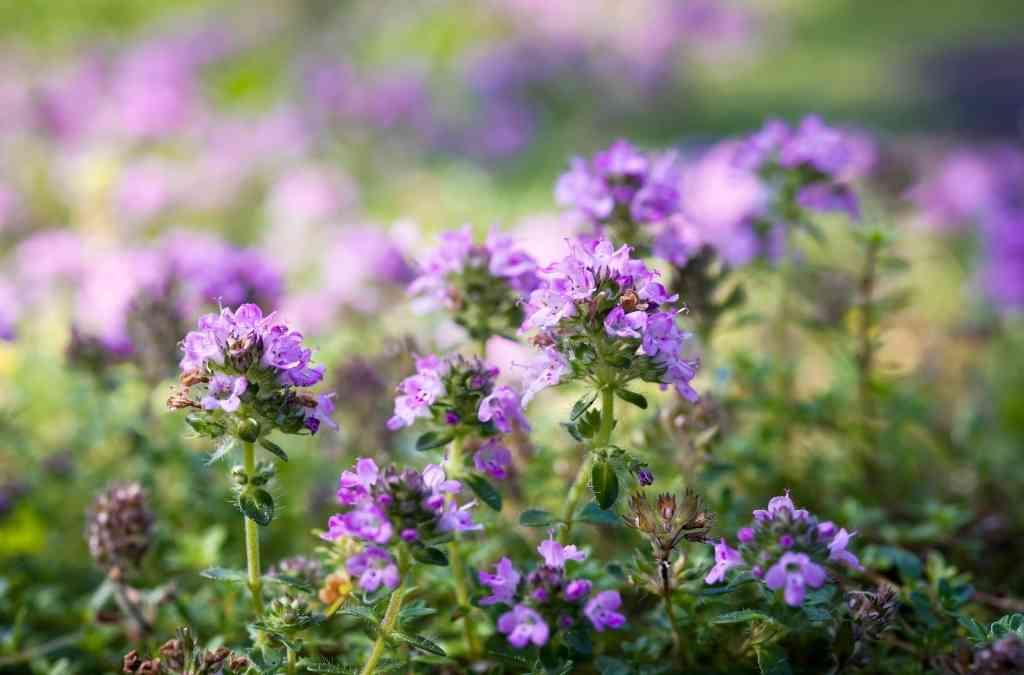 Lamiaceae piante aromatiche