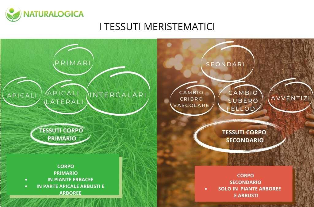 I tessuti meristematici delle piante