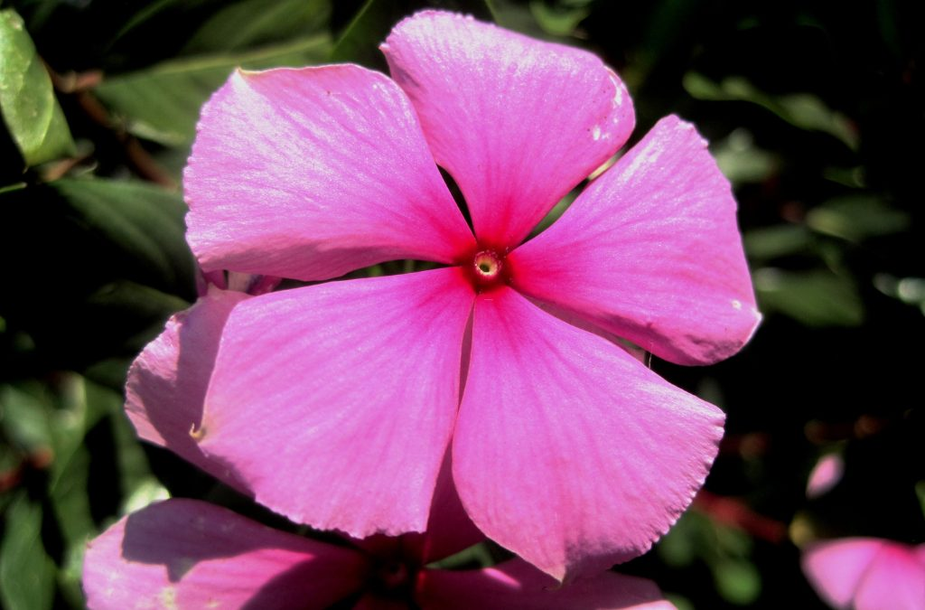 Catharanthus roseus proprietà della Pervinca