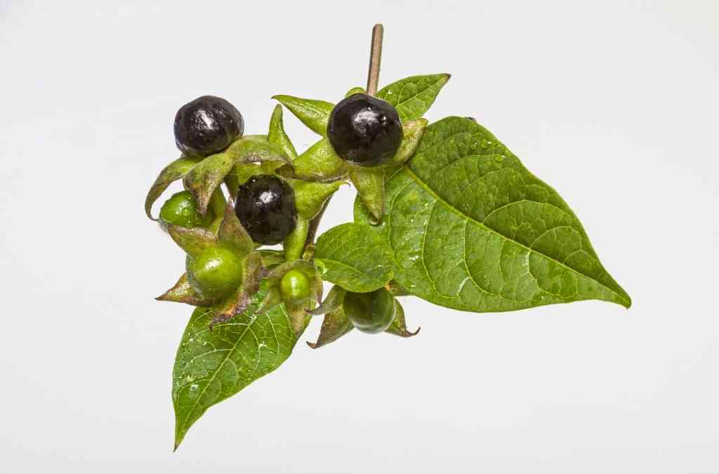 Atropa belladonna proprietà  – cenni di botanica e proprietà farmaceutiche