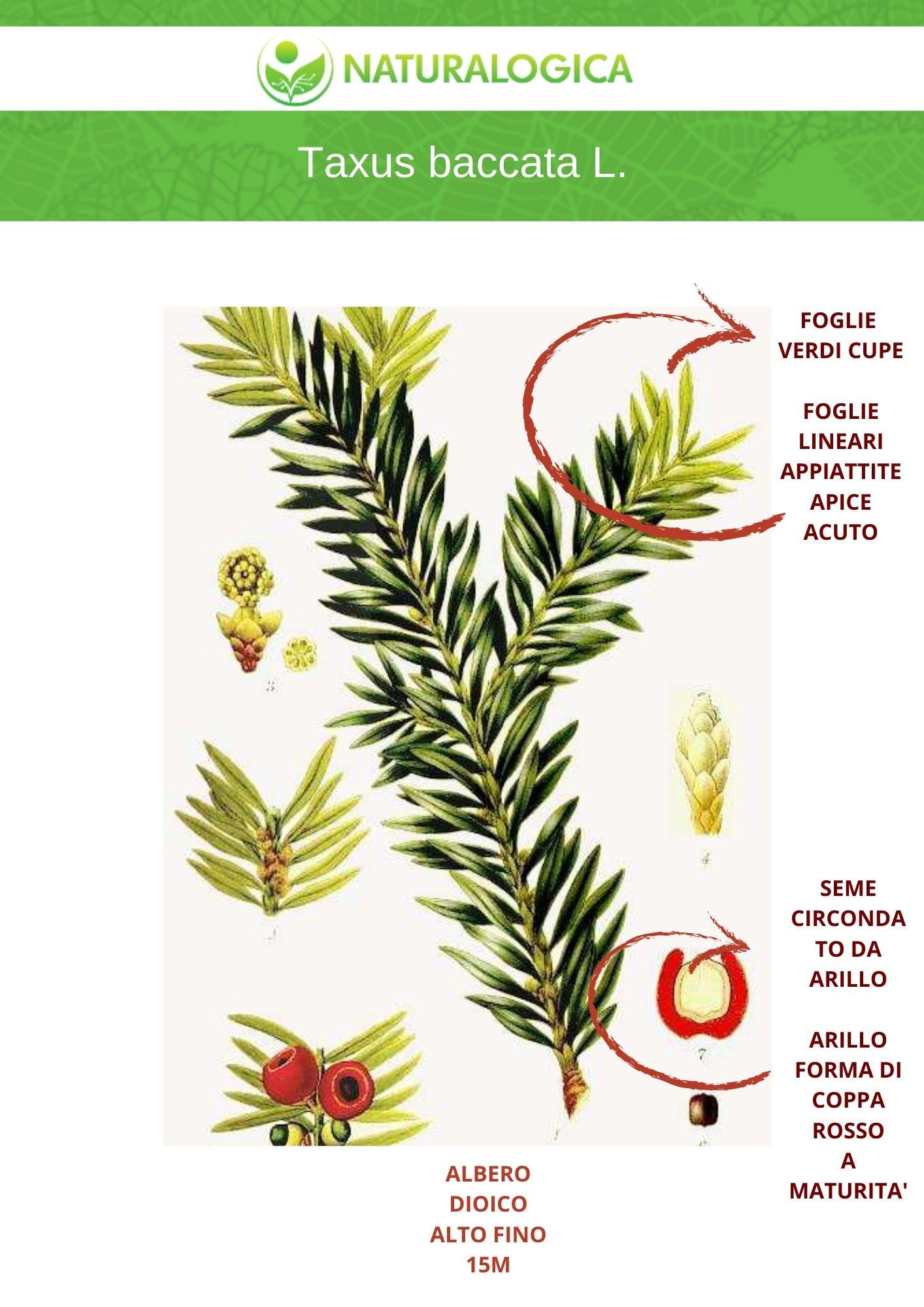 Taxus baccata farmaceutica