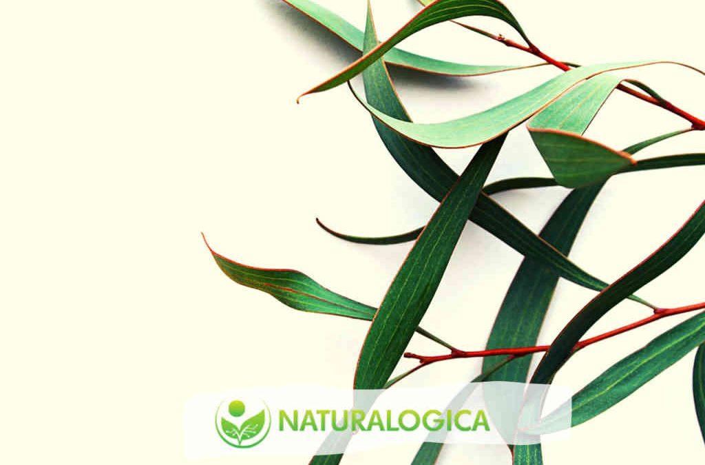 Proprietà dell'olio essenziale di Eucalipto