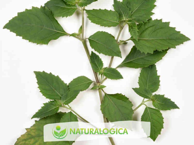 Patchouli olio essenziale, usi e proprietà in aromaterapia.
