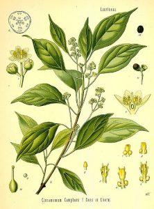Canfora tavola botanica