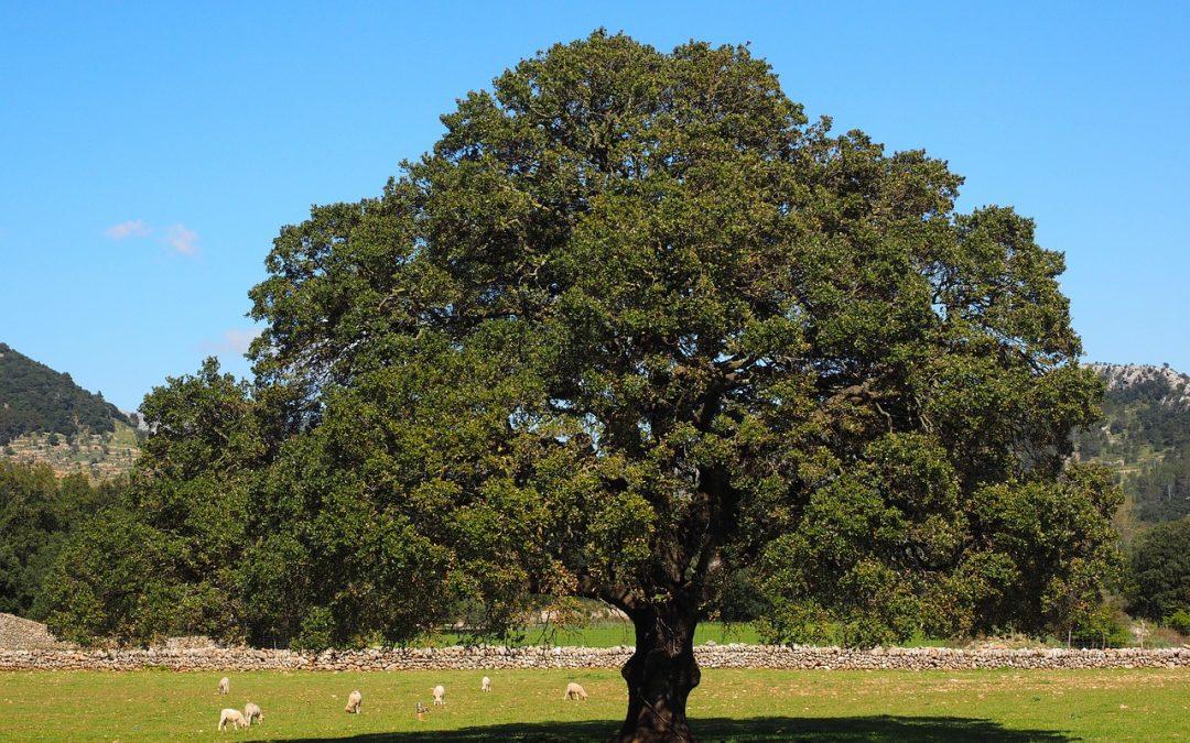 Canfora proprietà donate dall'albero della Camphora