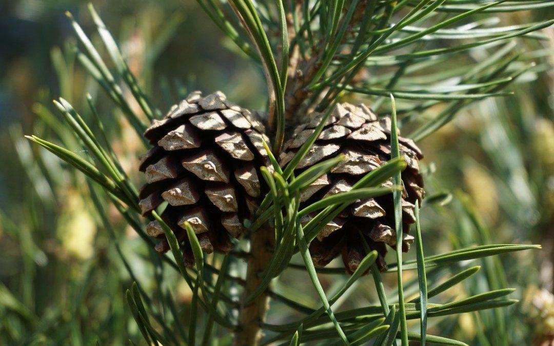Olio essenziale di pino proprietà farmaceutiche del Pino Silvestre