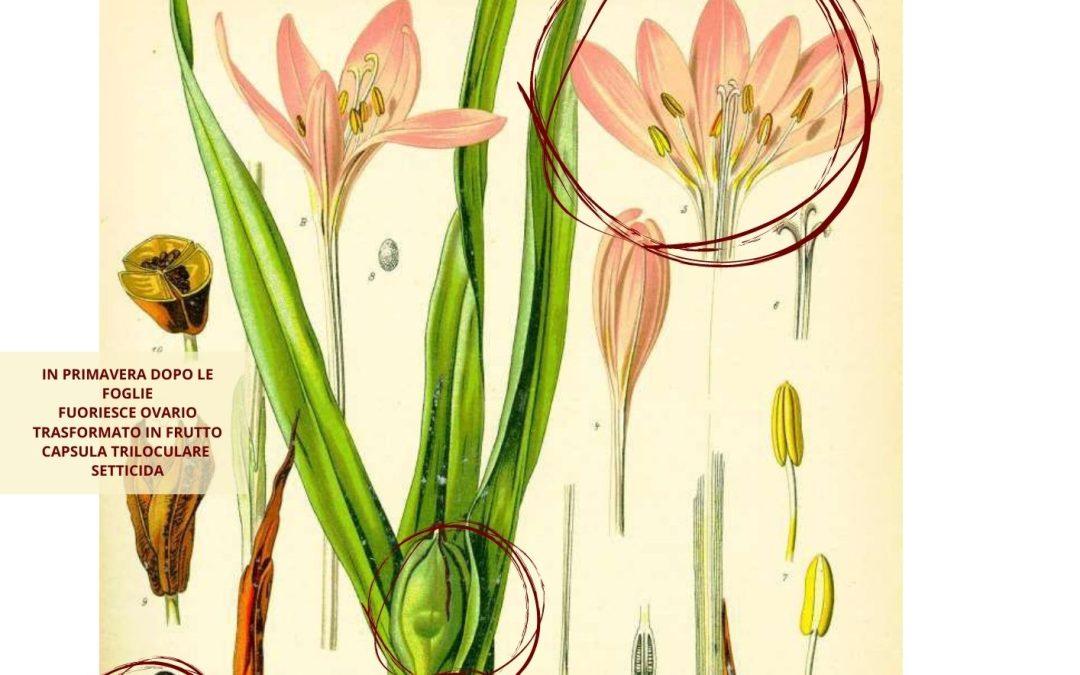 Colchicum autumnale L. botanica farmaceutica