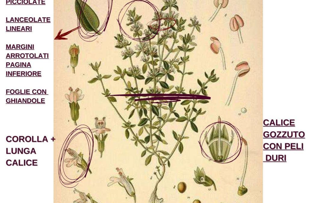 Thymus vulgaris proprietà erboristiche e farmaceutiche