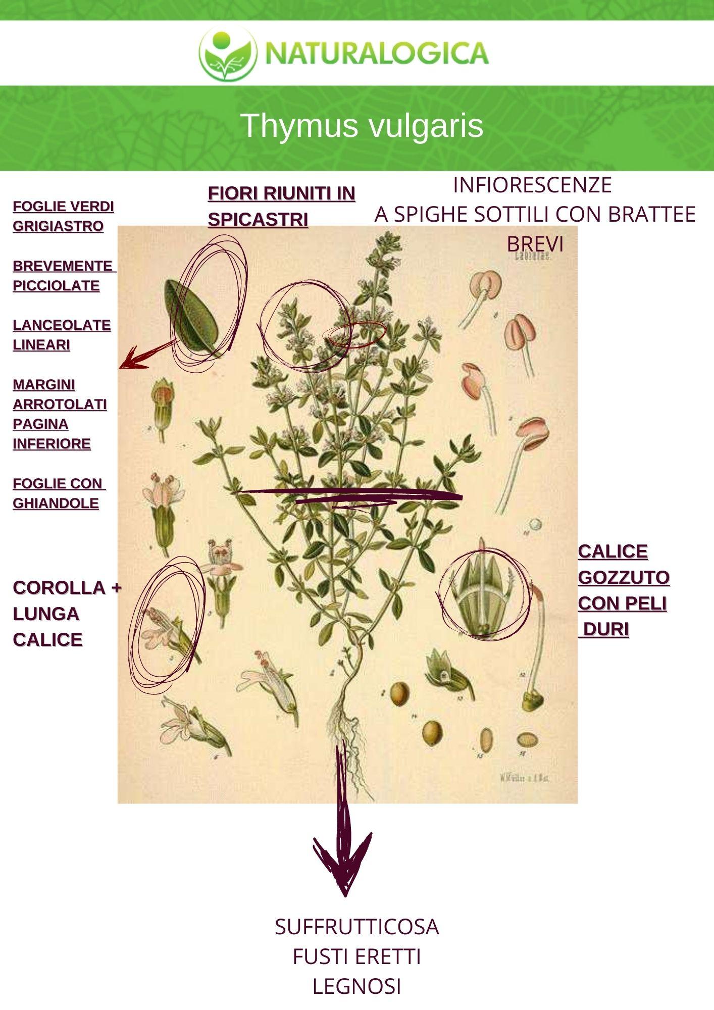Timo proprietà del Thymus vulgaris botanica