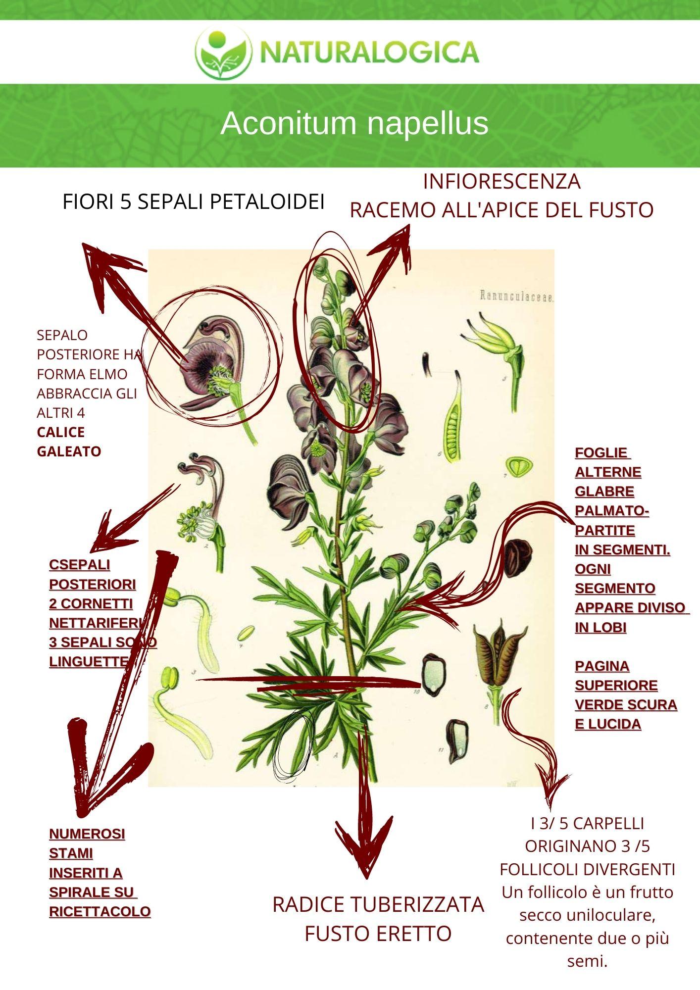 aconitum napellus a cosa serve e scheda botanica