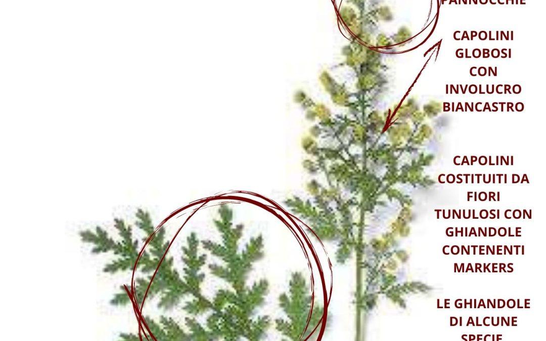 Artemisia annua erboristeria e proprietà farmaceutiche