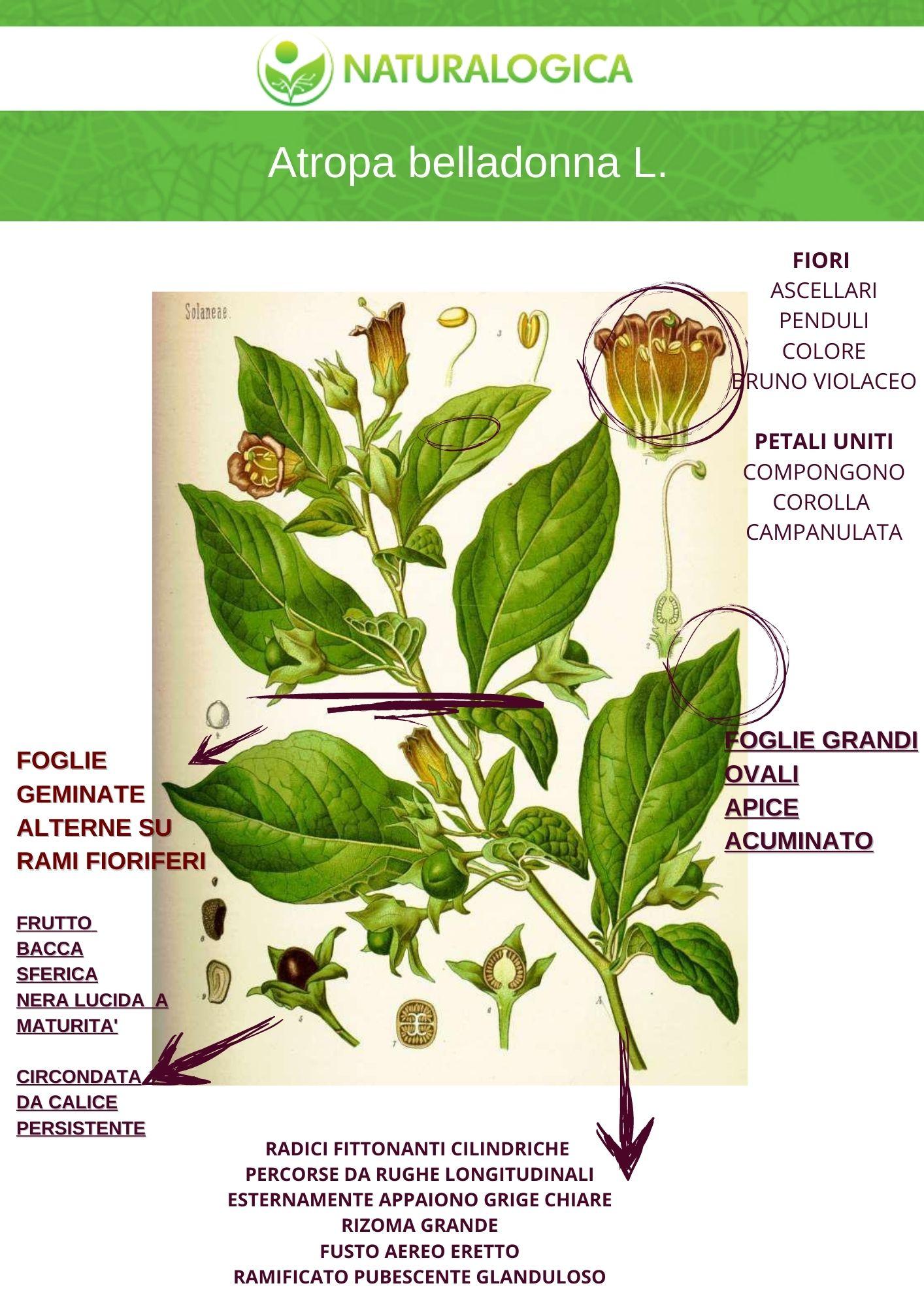 Atropa belladonna erboristeria