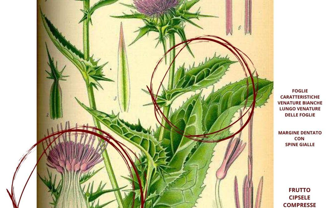 Cardo mariano proprietà farmaceutiche Silybum marianum (L.)