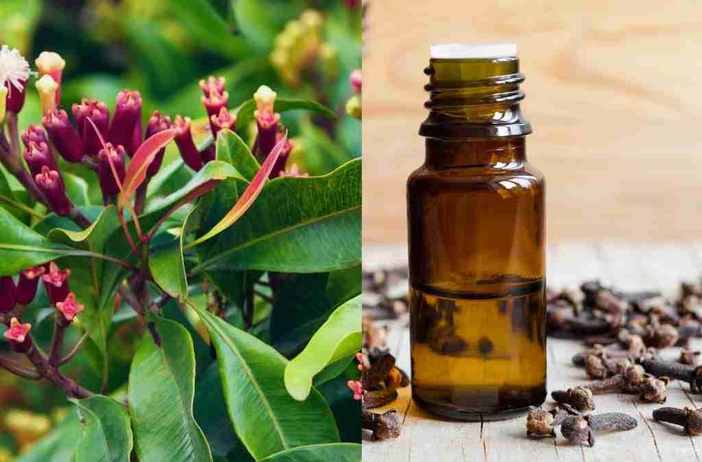 Chiodi di garofano benefici e controindicazioni Syzygium aromaticum