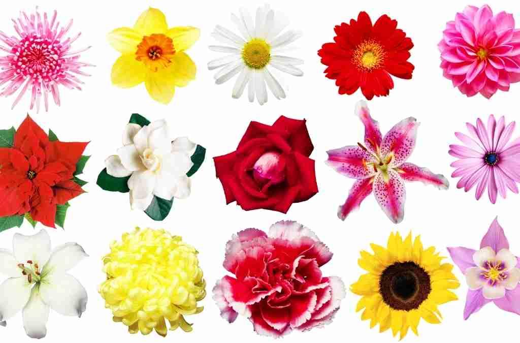 Com'è formato il fiore ? Nascita e classificazione del fiore in base alla simmetria e all'ovario.