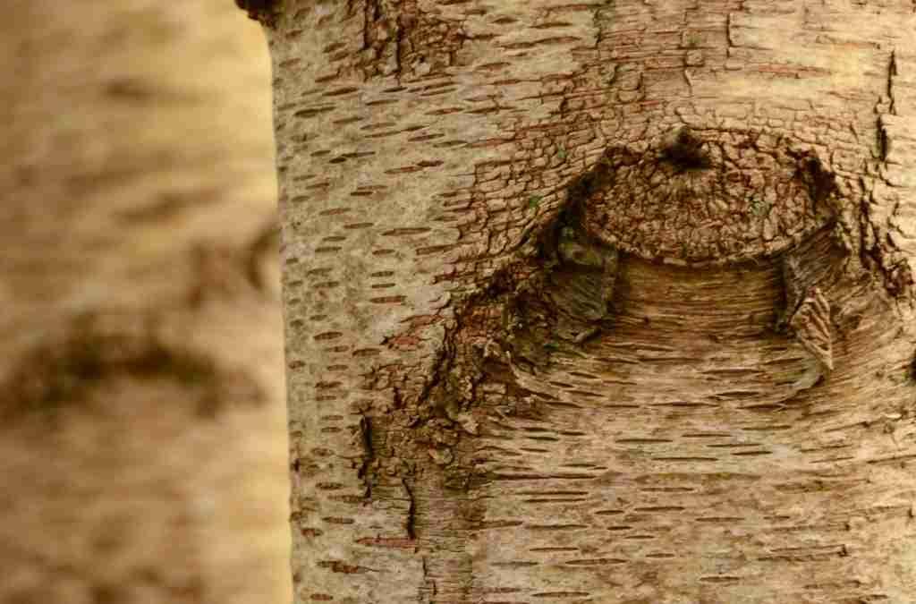 Lenticelle cosa sono e a cosa servono nelle piante