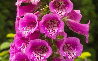La famiglia Scrophulariaceae in erboristeria e farmacia