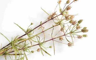Psillio proprietà in erboristeria e farmacia del Plantago psillum