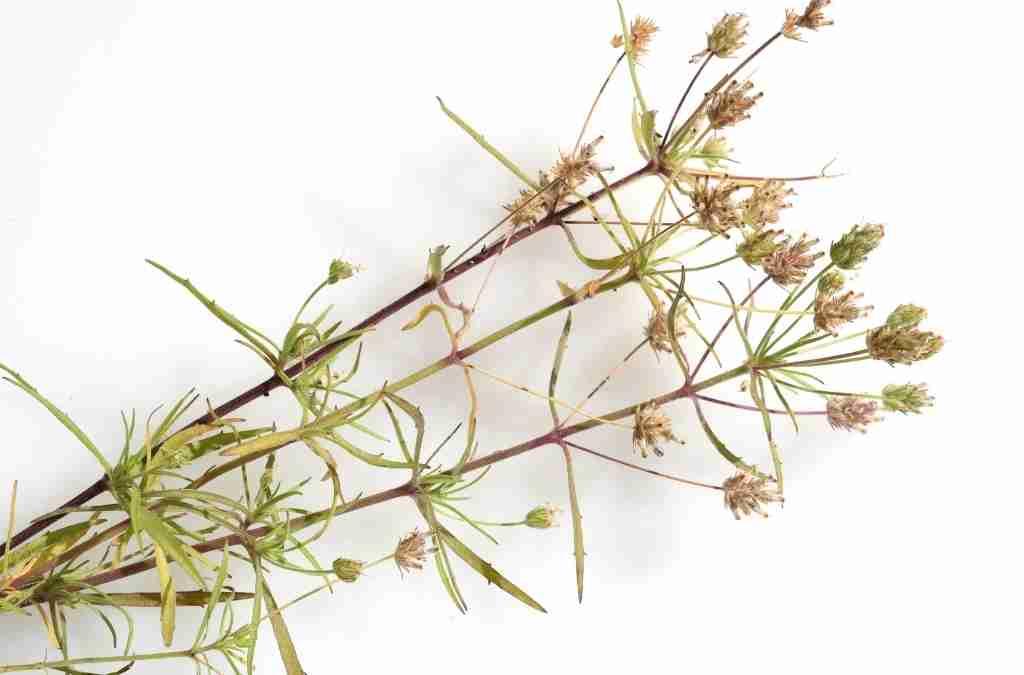 La famiglia delle Plantaginaceae in erboristeria e farmaceutica