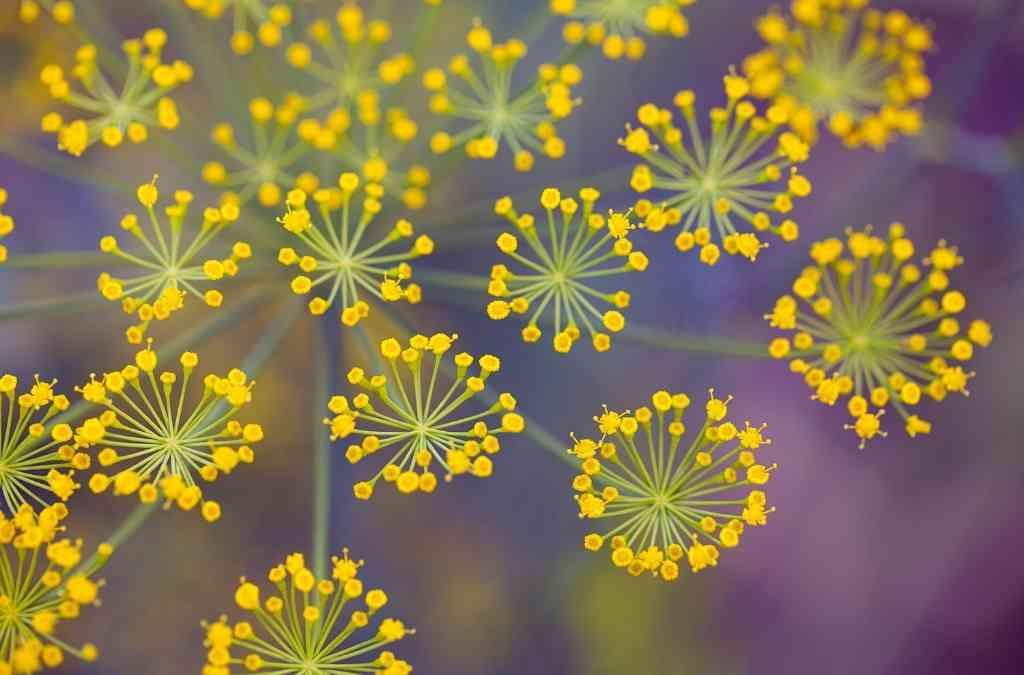 Foeniculum vulgaris proprietà del finocchio selvatico