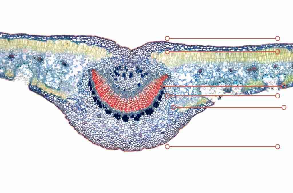 Classificazione delle foglie – foglia dorso ventrale in sezione trasversale