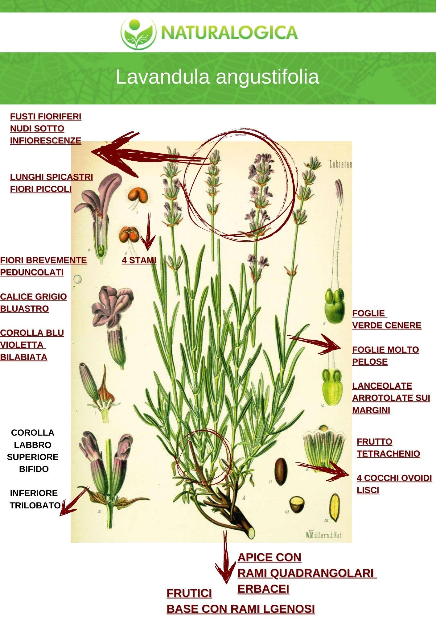 lavanda angustifolia botanica farmaceutica