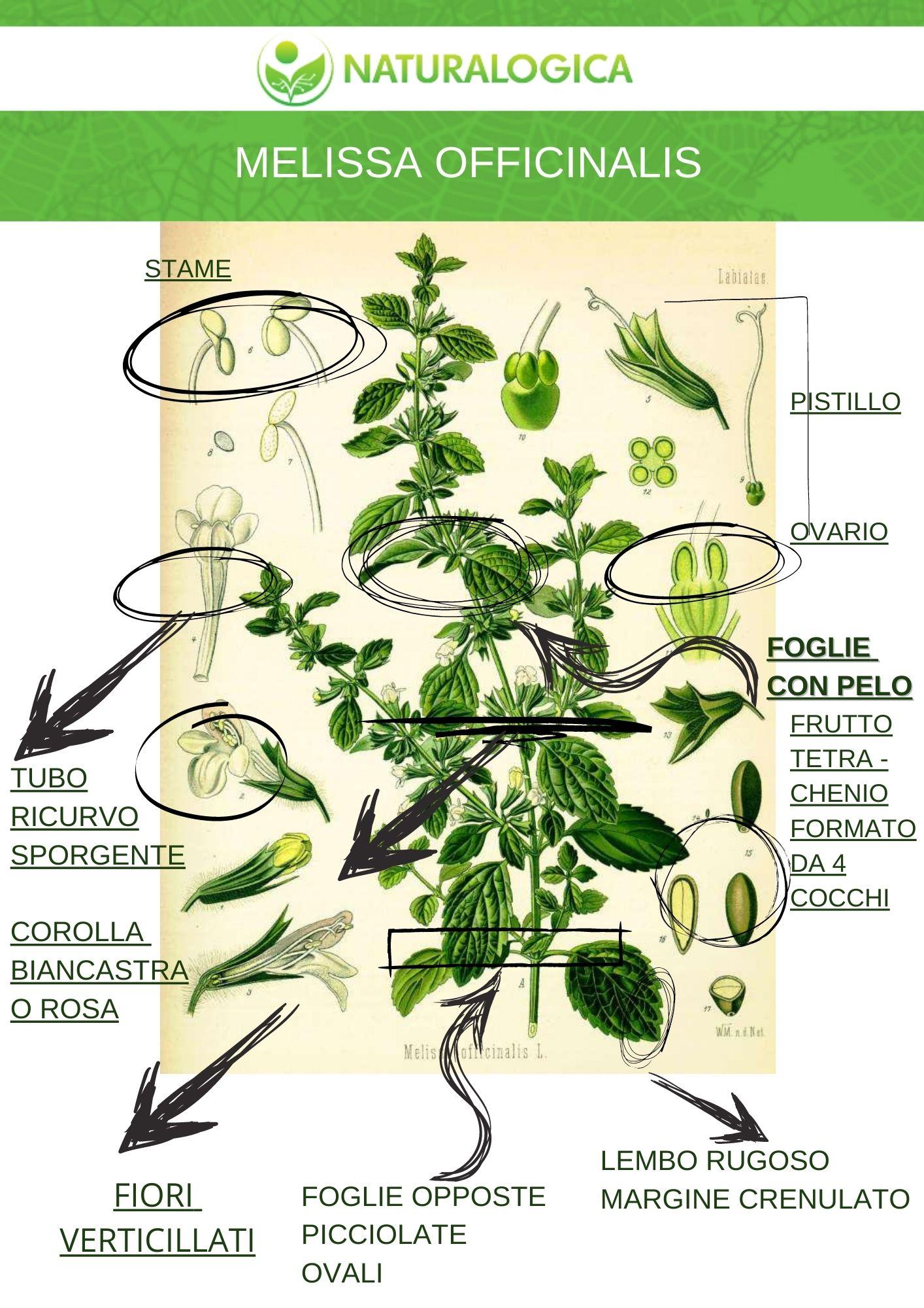 Melissa officinalis scheda botanica