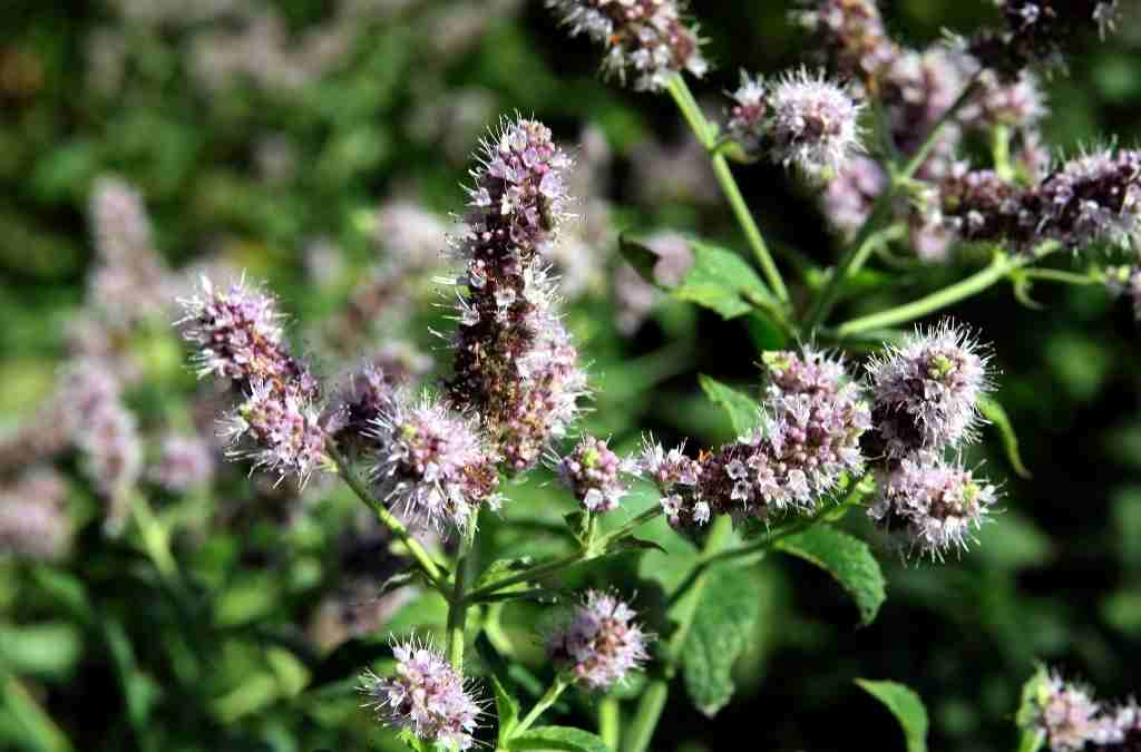 Menta piperita proprietà farmaceutiche e cenni di botanica