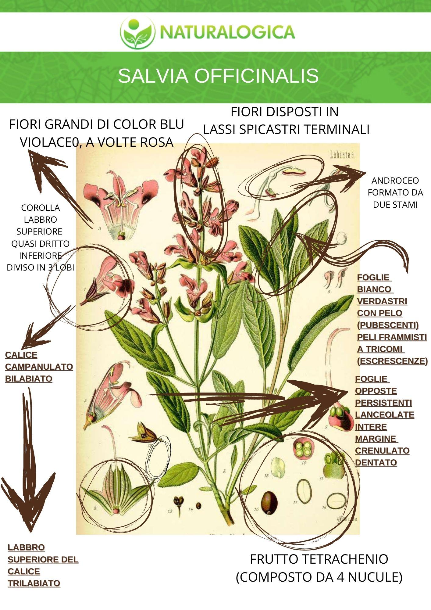 Salvia officinalis proprietà farmaceutiche in foto la scheda botanica
