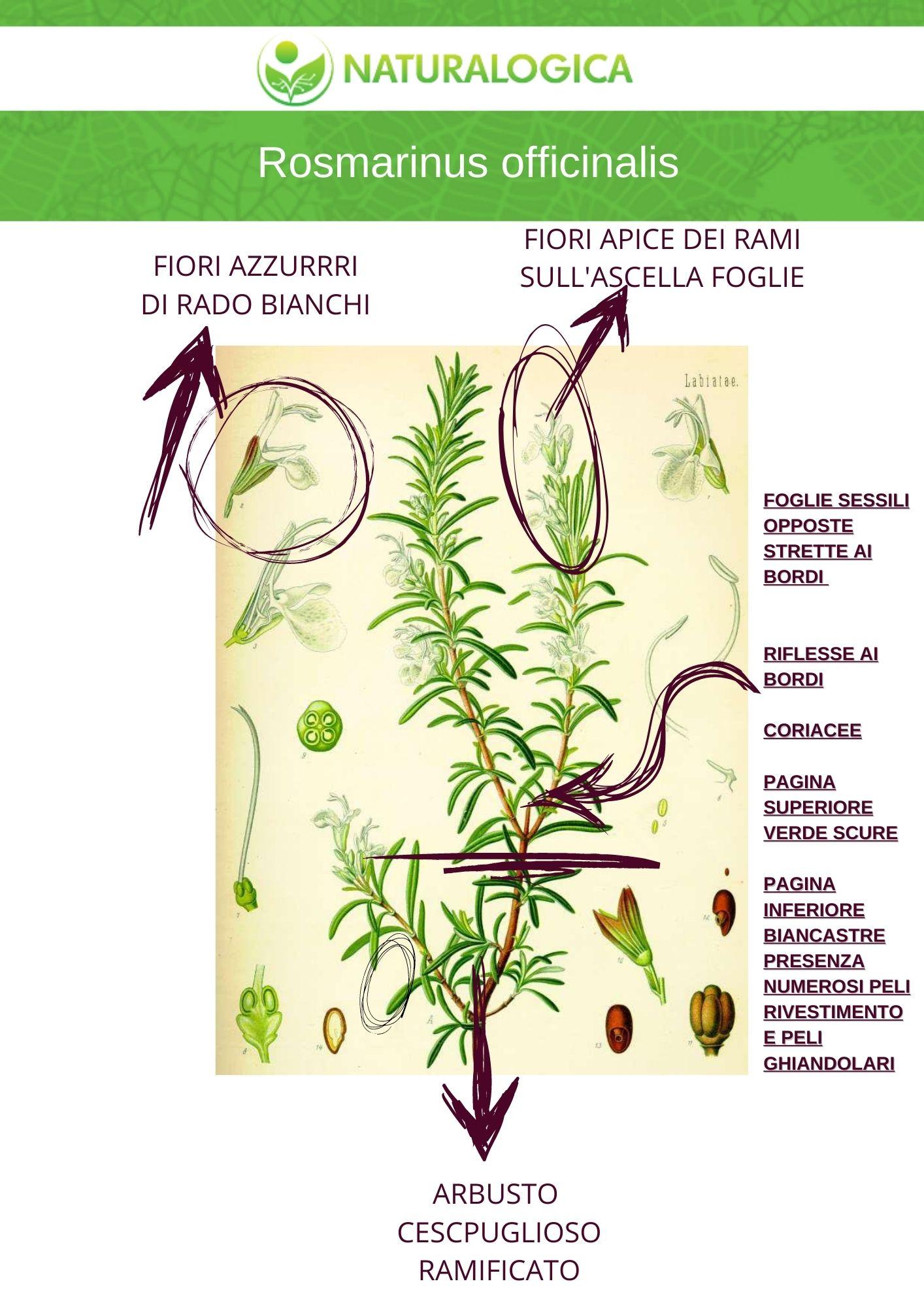 Scheda botanica farmaceutica