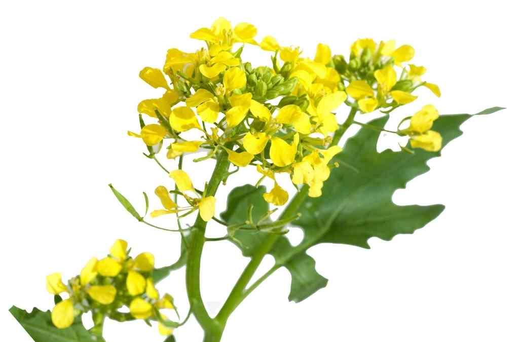 Semi di senape bianca proprietà e botanica della Sinapis alba