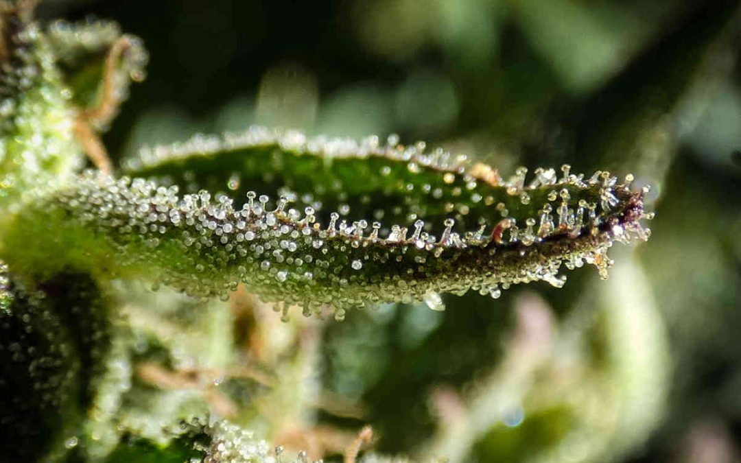Tricomi peli delle piante, le loro funzioni utili a comprendere il mondo delle essenze