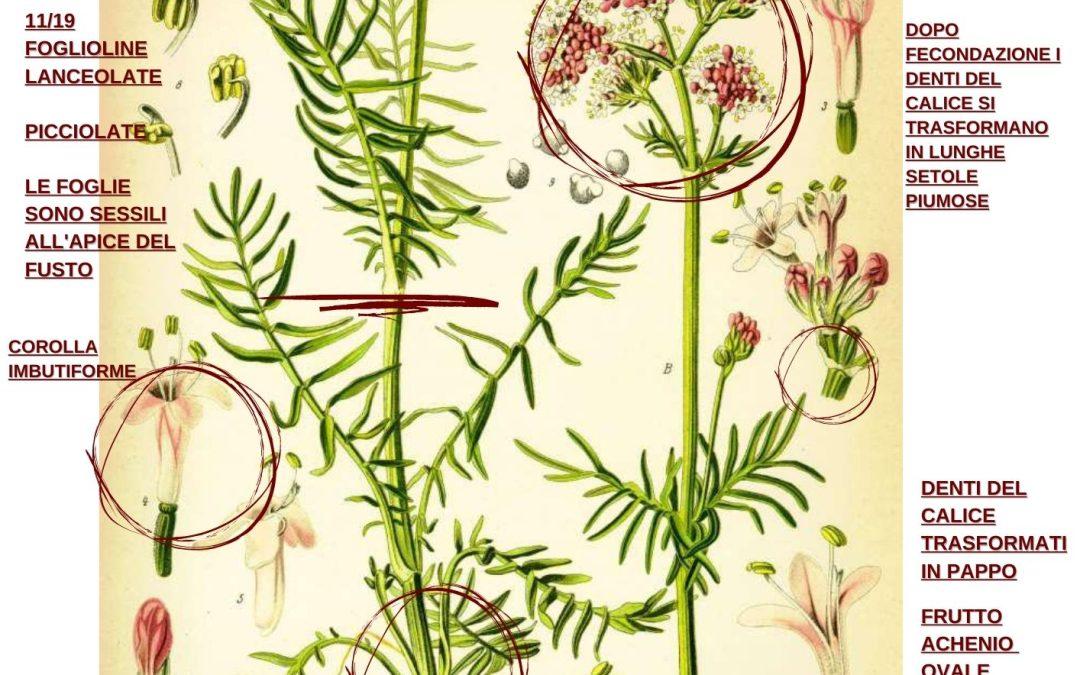 Valeriana officinalis erboristeria e cenni di botanica farmaceutica