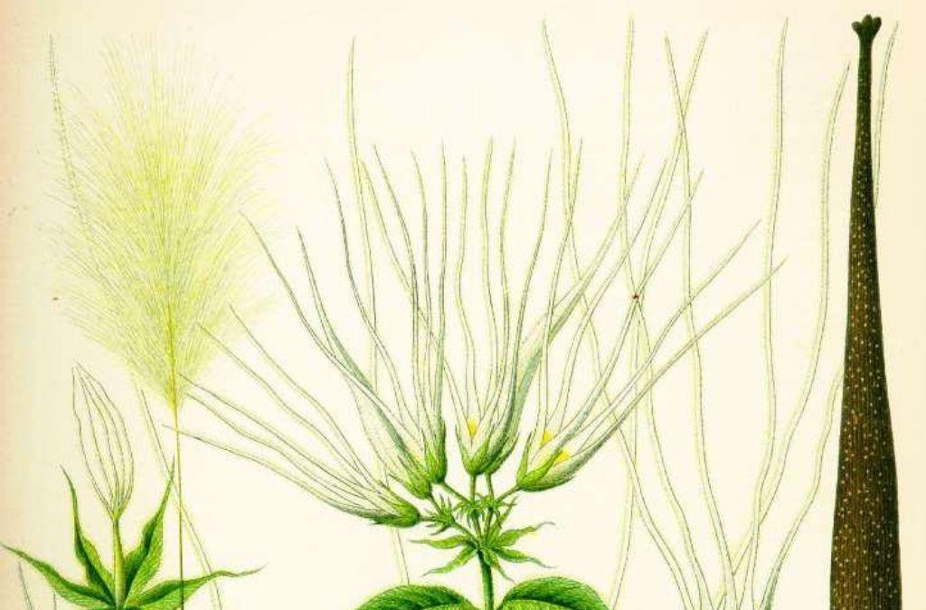 Strophanthus gratus proprietà farmaceutiche dello Strofanto