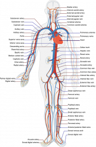 Apparato circolatorio anatomia