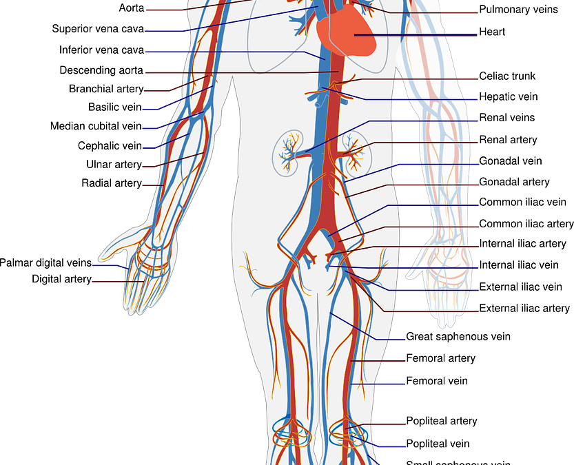 Apparato cardiocircolatorio anatomia per scienze e tecnologie farmaceutiche