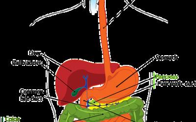 Quali funzioni fondamentali svolge l'apparato digerente? Introduzione, cavità orale e lingua.