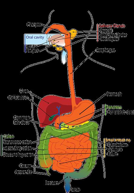 Anatomia dell'apparato digerente