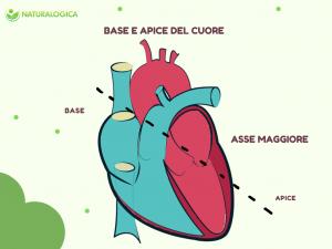 cenni di anatomia del cuore l'apice e la base raffigurati in foto